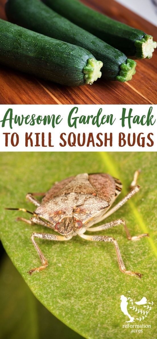 How To Get Rid Of Squash Bugs Squash Bug Eggs And Nymphs