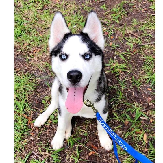 """(@zeusthehuskyyyy) on Instagram: """"❤️ Zeus is Always a happy boy  He loves his afternoon runs. #Tag someone who would #love this #Siberianhusky #husky #puppy #dog #huskypuppy"""