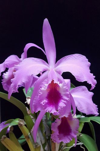 Cattleya Labiata Orchid Flower Orchid Photography Beautiful Orchids