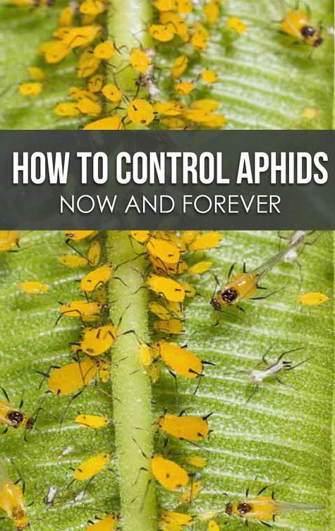10 Best Home Remedies On How To Get Rid Of Aphids Naturally In Your Garden Controlpestsingarden Get Rid Of Aphids Aphids Garden Pests
