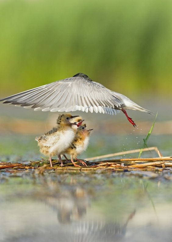 Even just for a fraction of a second, the wings of a whiskered tern look like a protection umbrella for her chicks, Vacaresti area, Romania - by Helmut Ignat, Romanian