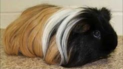 Pin On Silkie Guinea Pig
