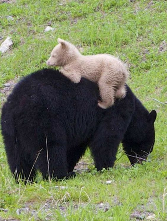 AMA Black Bear with her white Cub. ภเгคк ค๓à¹Â