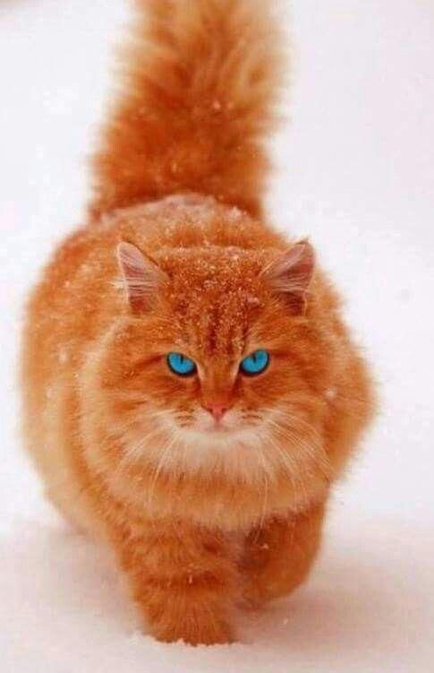 Blue Eyes Crying In The Rain Pretty Cats Orange Cats Cute Animals