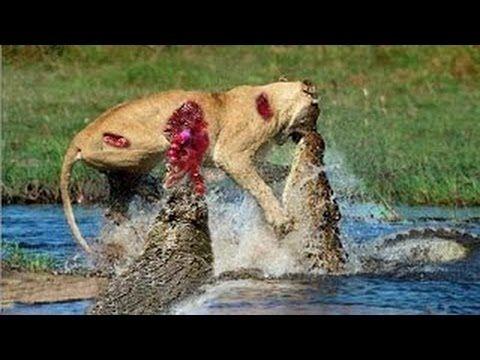 Lion vs bull Elephant Crocodile vs Elephant Lion vs Hyena ...