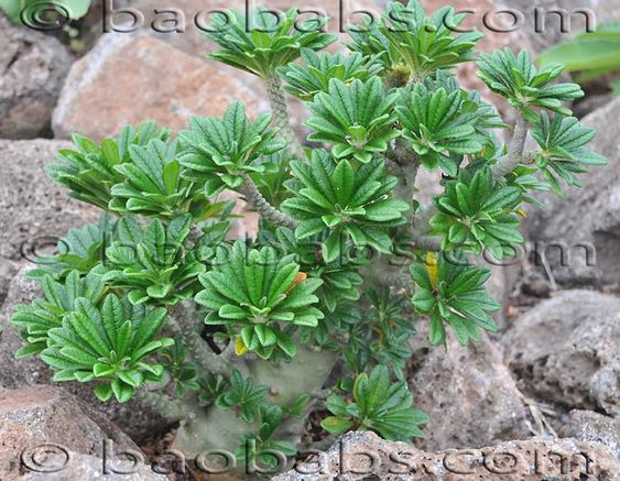 succlent plants | Dorstenia Gigas is a succulent plant endemic to the island of Socotra ...
