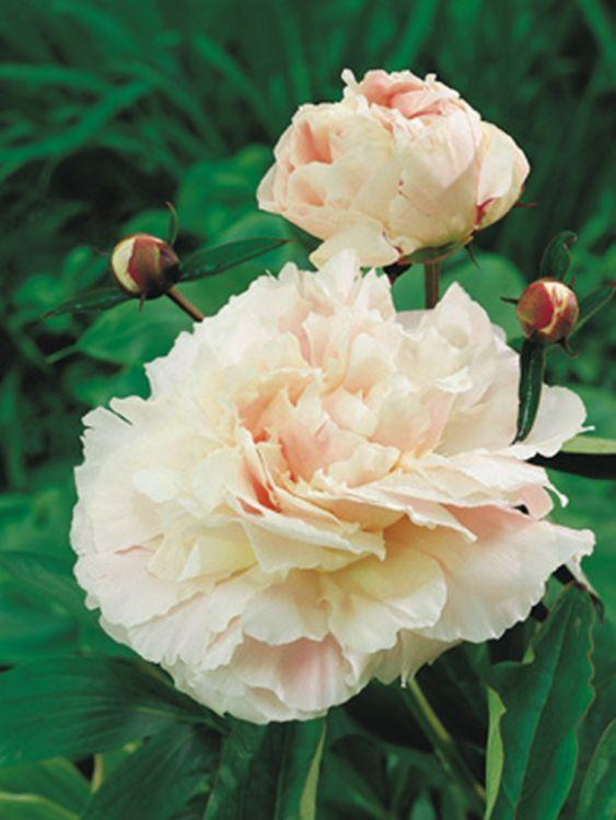Pfingstrose 'Shirley Temple' - Paeonia lactiflora 'Shirley Temple'