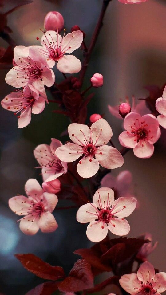 Pin On Wallpaper Cherry blossom cell phone wallpaper images