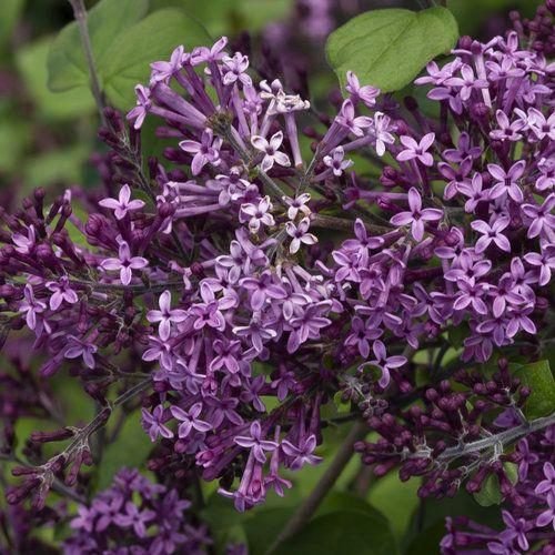 Bloomerang Dark Purple Reblooming Lilac Syringa X In 2020 Lilac Tree Lilac Bushes Bloomerang Lilac