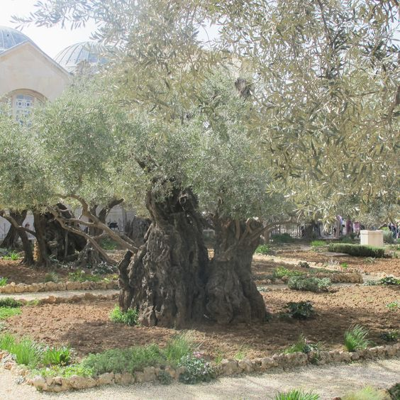 Gardens trees and olive tree on pinterest for Age olive trees garden gethsemane