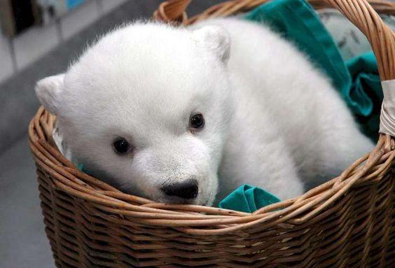 cachorros de urso polares - Pesquisa Google