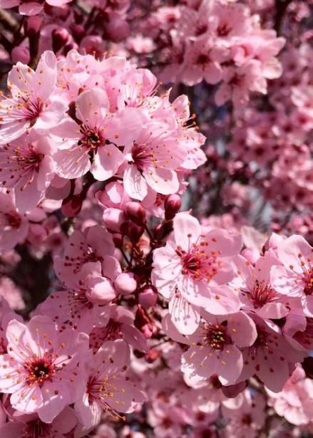 Best Nature Photography Pink Cherry Blossoms Ideas Nature Photography Flowers Cherry Blossom Wallpaper Flowers Photography