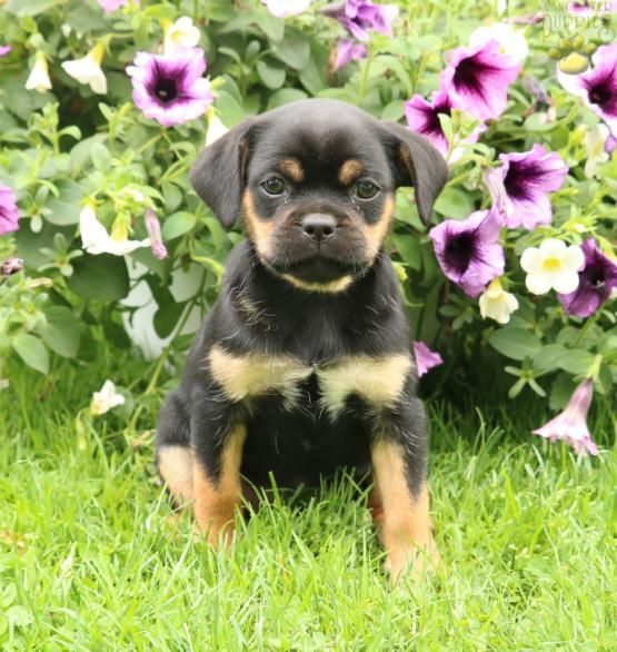 Octavia Mini Rottweiler Puppy For Sale In Kinzer Pa Lancaster