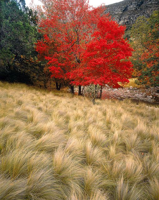Stipa grass and bigtooth maple, autumn, Guadalupe Mountains ...