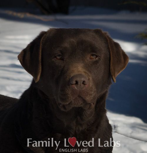 English Chocolate Lab Blocky Head Dark Chocolate Labrador