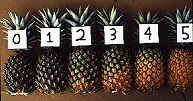 How to grow your own pineapple so it actually produces fruit...this website looks very helpful!