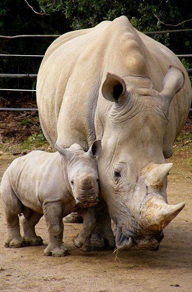 Mom & Baby Rhino //  Keeping close to Mom... Hamilton Zoo, New Zealand