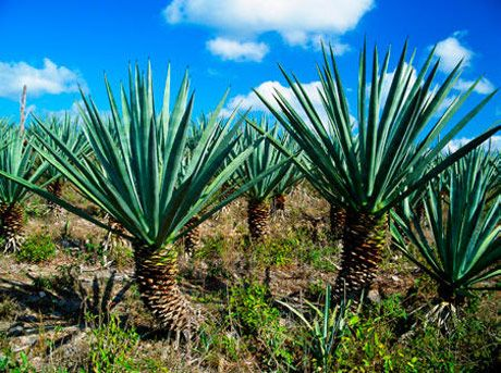 Mescal and Beyond: The Lowdown on Semi-Illegal Mexican Spirits