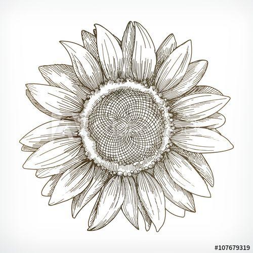 Sunflower Sketch Hand Drawing Vector Illustration Con Imagenes