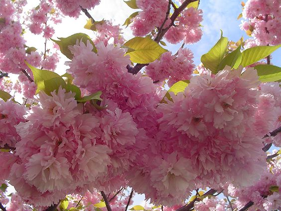 Pin By Amy Hotchkiss On For The Love Of Gardening Flowering Cherry Tree Pink Flowering Trees Flowering Trees