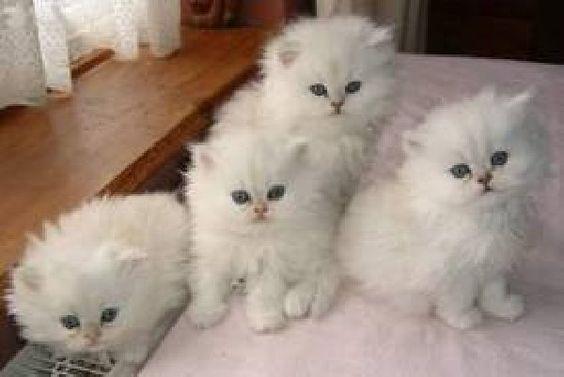 Teacup dollface persian kittens♡
