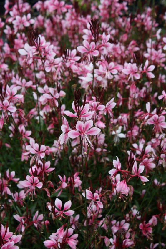 Gaura 'Pink Cloud'...a standout native plant selection.