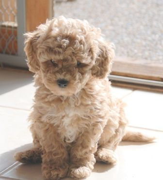 Miniature Australian Labradoodle Puppies Available at