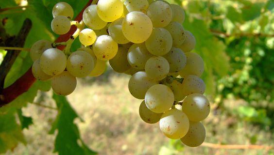 Uva Sauvignon Blanc - França e/ou Nova Zelândia. Vinhos com coloração dourada, acidez elevada e aromas frutados (pêssego, maracujá e outras.). Vai bem com salada.