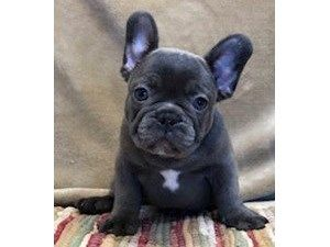 Dogs And Puppies For Sale Petland Waterford Lakes Orlando