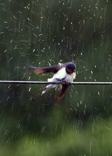 """""""Photo of a swallow standing on a power line, taken in a rainstorm.""""  by Rob Whittaker on Flickr"""