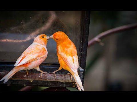 التغريد الذي استعمله في تسميع اناث الكناري لتجهيزهم بسرعة كبيرة جدا Youtube Canary Birds Bird Species Weird Animals