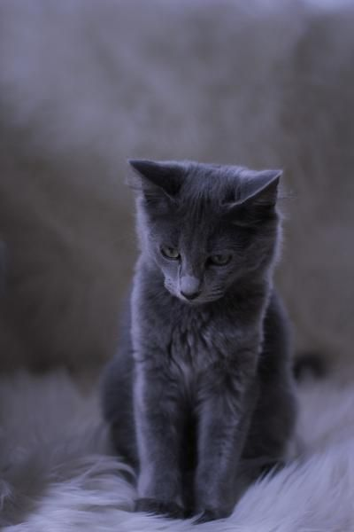 süße Katzenbabys, langhaarige Russisch Blau, seltene Nebelung, Süddeutschland