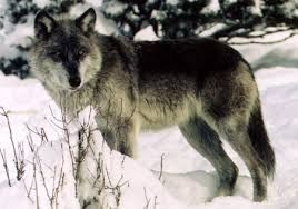 Image result for gray wolves