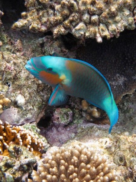 Parrot Fish Family Wrasse Brightly Colored Fish Habitat