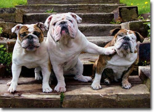How To Deal With Aggressive Dog Behavior Problems Bulldog Funny