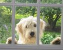 Goldendoodle at Old Mill