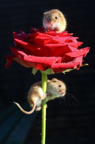 A date on top of a rose? How romantic