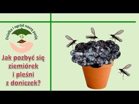 Jak Pozbyc Sie Ziemiorek Skoczogonkow I Plesni Z Doniczek Youtube Healthy Plants Plants Healthy