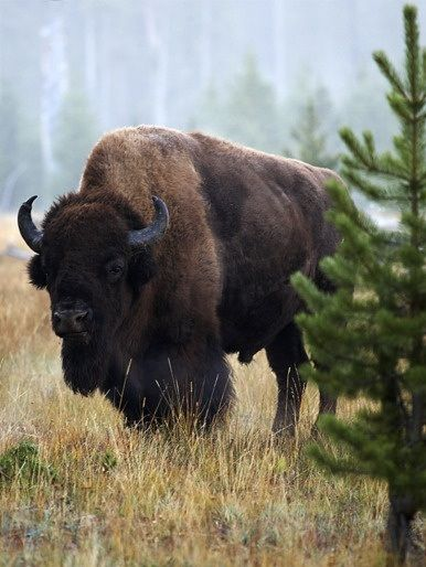 Buffalo...where have they all gone?  The way of the Native American Indian.