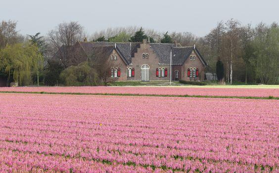 Hyazinthenfeld, Niederlande
