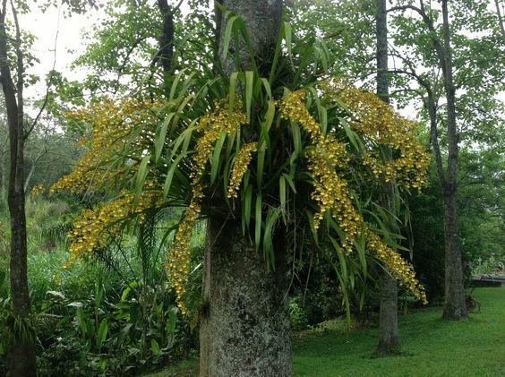 Flor de mayo en jardín de Córdoba, Veracruz, México