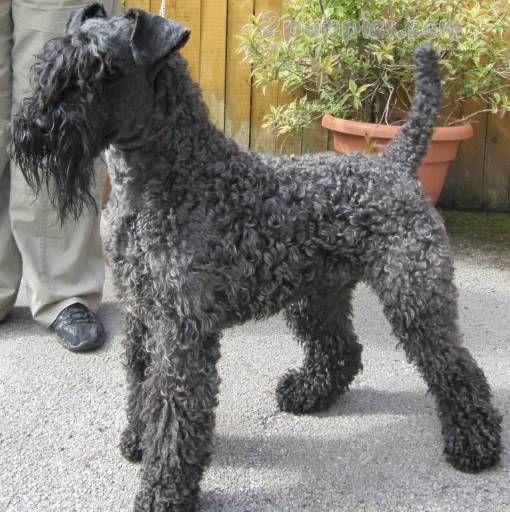 Kerry Blue Terrier Terrier Dog Breeds Dog Breeds Terrier Dogs