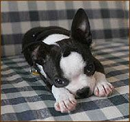 Boston Terrier Puppy Dixie from www.dogsindepth.com - the online dog enclopedia