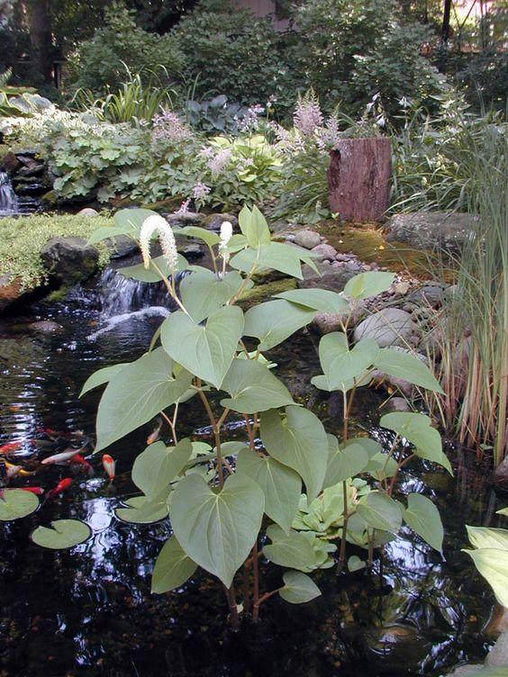 Do you know your aquatic plants plants backyard ponds for Garden pond plants