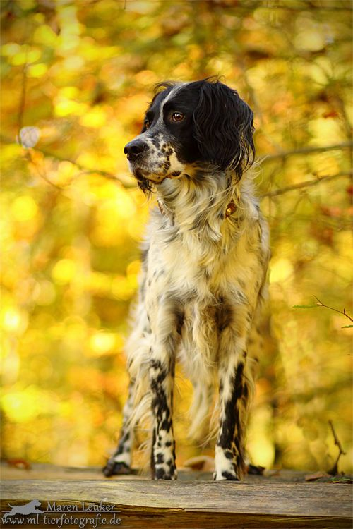 English Setter. By Maren Leuker.