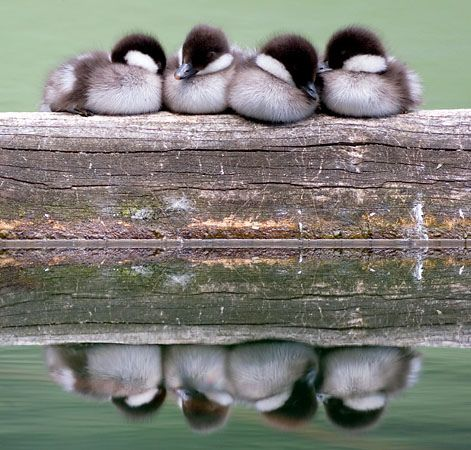 Cute Ducklings Sleeping by Max Waugh Photography, via Flickr: