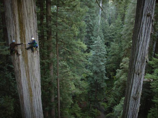 These are coast redwoods (Sequoia sempervirens) in Humboldt Redwoods State Park, California.