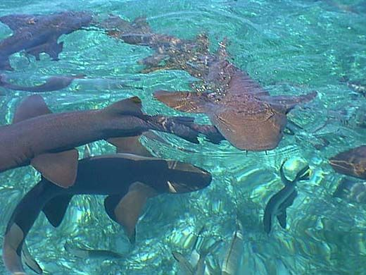 """Swam with nurse sharks in """"Shark Ray Alley"""" Belize."""