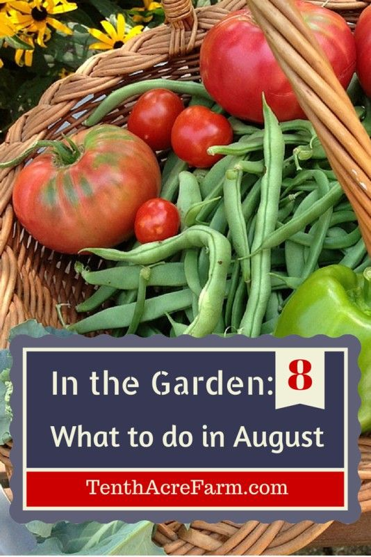 In the Garden: What to do in August. August is when the mega-harvests come in. How do we manage all of this produce in the kitchen and keep our garden from looking like a jungle? Here are some ideas for prioritizing what to do in the garden in August.: