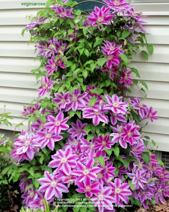 Clematis Plants And Photos Of On Pinterest